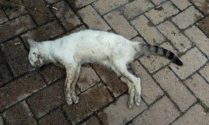 Gatti avvelenati il fenomeno ritorna in Brianza