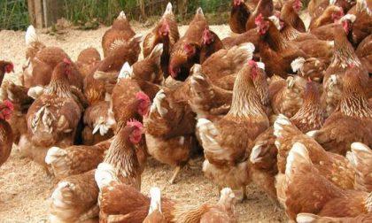 Stop alle misure di protezione dopo il focolaio di aviaria