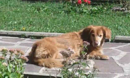 Si è persa la cagnolina Lola, i proprietari la cercano ovunque