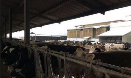 Burian si abbatte sulle campagne di Lecco: stalle e serre congelate
