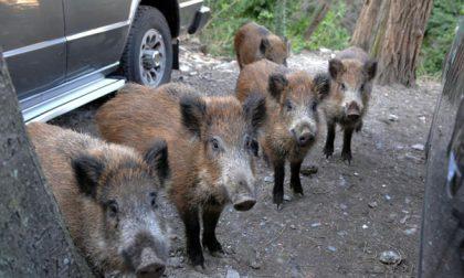 Lecco e Como, ora le aggressioni dei selvatici fanno paura