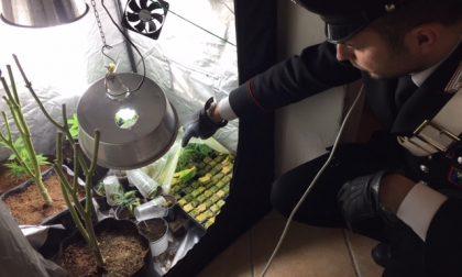 Serre di marijuana in cantina: in manette 25enne lecchese