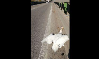 Cigno investito e ucciso sul ponte