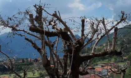 Al via la campagna 2021 per la messa a dimora piantine di ulivo
