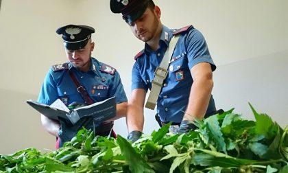 Denunciato per produzione e detenzione illecita di sostanze stupefacenti