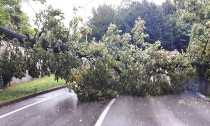Grande albero cade in strada FOTO