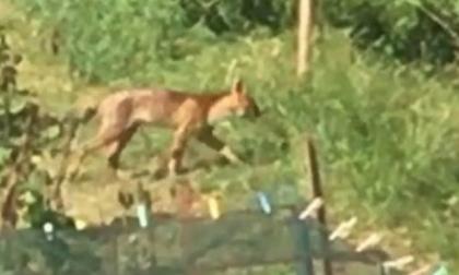 Nei boschi comaschi continua la caccia al puma