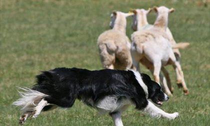 A Morterone va in scena il Campionato dei cani da pastore