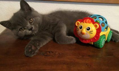 Smarrito gattino l'appello dei proprietari FOTO