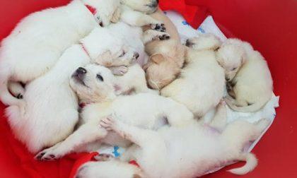 Adottati nel Lecchese 5 cuccioli di Luce, la cagnetta simbolo degli animalisti VIDEO