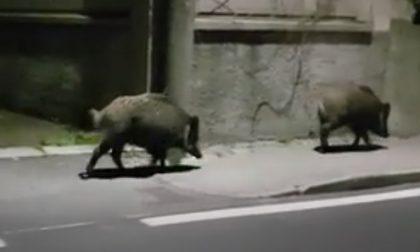Cinghiali: Regione Lombardia chiede di prorogare un mese la caccia in zona rossa