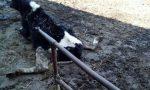 Mucche all'asta: appello per salvarle dal mattatoio