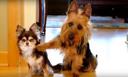 """""""Torna l'incubo dei cani rubati nelle case""""  L'APPELLO"""