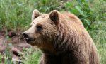 M49 orso in fuga: Brambilla e Fiocchi si danno battaglia