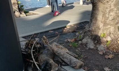 Sulla passeggiata del lungolago, foglie morte, detriti e il cadavere di una nutria