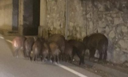 9 cinghiali a spasso per il paese e sulla Provinciale Como-Lecco FOTO