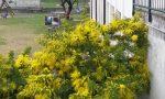 Clima pazzo: a Lecco mimose in fiore con quasi un mese di anticipo FOTO