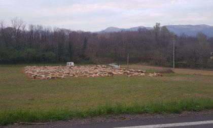 Un gregge di pecore porta un po' di tenerezza