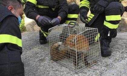 I Vigili del Fuoco salvano una volpe ferita, soccorsi anche 5 micetti FOTO