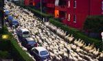 Lecco città di transumanza: sabato 3000 pecore attraverseranno la città