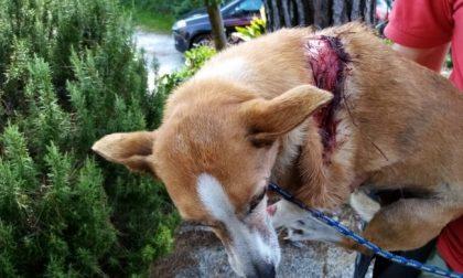 Cane travolto e ucciso dal suo padrone, che non lo ha nemmeno soccorso