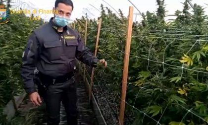 In Lombardia sequestrata la più grande piantagione di marijuana mai vista in Italia: 115.800 piante FOTO E VIDEO
