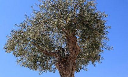Stagione olearia 2020: al via il censimento degli olivi