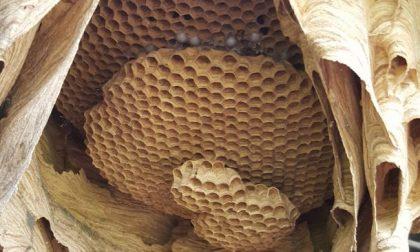 Apre il capanno in Brianza e trova un nido di calabroni da record FOTO