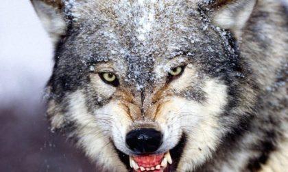 Il lupo minaccia  anche le pecore brianzole a rischio estinzione