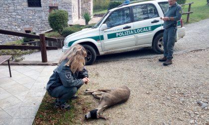 Caprioli, cervi, falchi, ma anche pipistrelli : 800 interventi della Polizia provinciale di Lecco per salvare gli animali