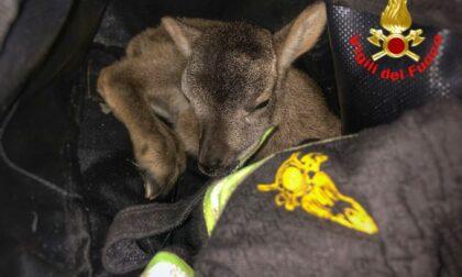 Cucciolo di muflone incastrato in una rete salvato dai Vigili del Fuoco