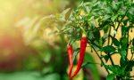 I nostri consigli: facile da gestire, la pianta può dare frutti da marzo a ottobre se curata bene