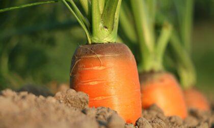 La carota: servono un vaso fondo, un buon terriccio e 90 giorni di pazienza
