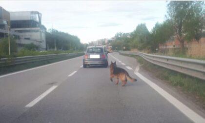Caos per un cane sulla ex Statale 36