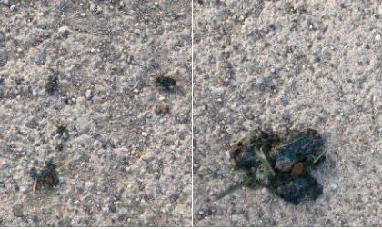 Bocconi avvelenati per cani sulla pista ciclopedonale