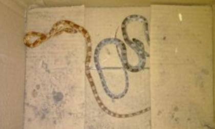 Abbandona i serpenti nel cassonetto... per smaltirli nell'umido