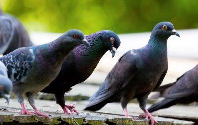 La Lombardia apre la caccia ai piccioni: 20mila uccelli da abbattere