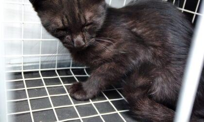 Gattino salvato dalla Lac, ora si può adottare