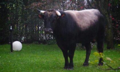 Toro in fuga finisce nel cortile di un albergo