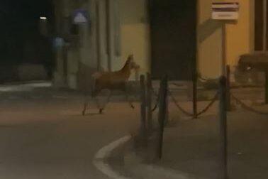 "Avvistato in città: ""C'è un cervo, non ci crederà nessuno ma c'è un cervo..."""