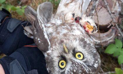 Bracconaggio nel Parco Regionale delle Grigne: salvata una rara civetta capogrosso